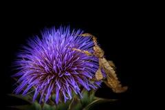 Insecto de hoja espinoso en la flor escocesa del cardo, Sunbury, Victoria, Australia, marzo de 2017 Fotografía de archivo libre de regalías