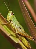Insecto de Katydid- fotos de archivo
