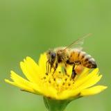 Insecto de la abeja Fotografía de archivo