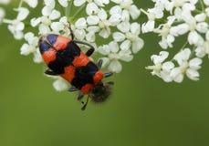 Insecto de la abeja Fotos de archivo libres de regalías