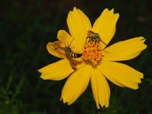 Insecto de la abeja con las flores en la noche Fotos de archivo