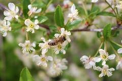 Insecto de la abeja contra un fondo del árbol floreciente Imagen de archivo