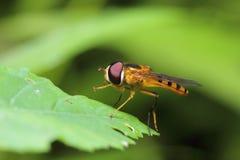 Insecto de la abeja de la mosca Imagenes de archivo