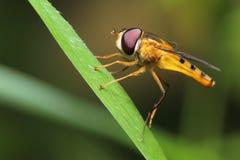 Insecto de la abeja de la mosca Fotografía de archivo