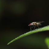 Insecto de la abeja de la mosca Foto de archivo