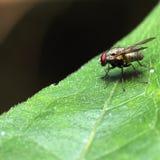Insecto de la abeja de la mosca Imagen de archivo