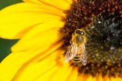 Insecto de la abeja en el flor amarillo brillante del girasol Fotos de archivo