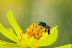Insecto de la abeja en la flor amarilla en el ambiente de la naturaleza foto de archivo