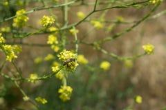 Insecto de la abeja en la flor amarilla Imagenes de archivo