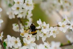 Insecto de la abeja en la flor blanca de Sakura que florece como fondo natural Fotos de archivo