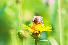 Insecto de la abeja en la opinión amarilla de la macro de la flor del diente de león Fotografía de archivo libre de regalías