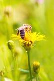 Insecto de la abeja en la opinión amarilla de la macro de la flor del diente de león Imágenes de archivo libres de regalías