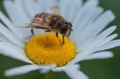 Insecto de la abeja de la abeja en una flor de la margarita blanca en verano Imagen de archivo libre de regalías