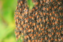 Insecto de la abeja, mosca de abeja en la rama Fotografía de archivo libre de regalías