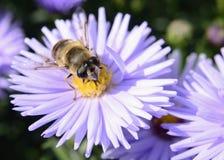Insecto de la abeja que se sienta en la macro de la flor Fotografía de archivo libre de regalías