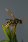 Insecto de la avispa Imágenes de archivo libres de regalías
