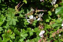 Insecto de la avispa que poliniza la mala hierba azul Fotos de archivo libres de regalías
