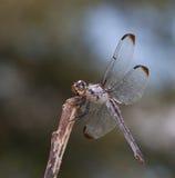 Insecto de la caza Fotografía de archivo libre de regalías