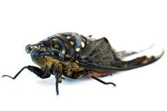 Insecto de la cigarra Fotos de archivo
