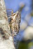 Insecto de la cigarra Imagenes de archivo