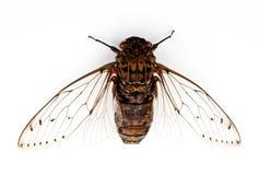 Insecto de la cigarra. Fotografía de archivo libre de regalías