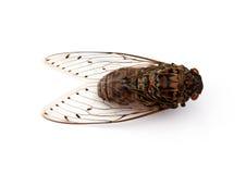 Insecto de la cigarra. Fotos de archivo