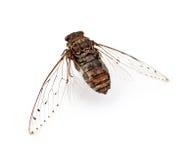Insecto de la cigarra. Foto de archivo libre de regalías