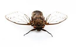Insecto de la cigarra. Fotos de archivo libres de regalías