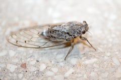 Insecto de la cigarra Foto de archivo libre de regalías