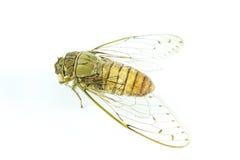 Insecto de la cigarra Fotos de archivo libres de regalías