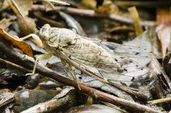 Insecto de la cigarra Foto de archivo