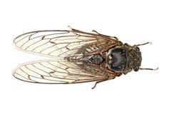 Insecto de la cigarra Imagen de archivo
