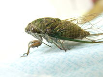 Insecto de la cigarra del primer Imagen de archivo libre de regalías