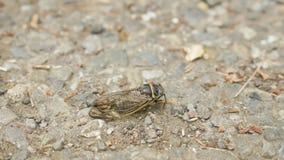 Insecto de la cigarra en la tierra metrajes