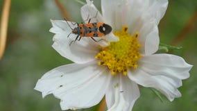 Insecto de la fauna en una flor blanca almacen de metraje de vídeo