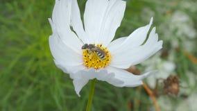 Insecto de la fauna en una flor blanca metrajes