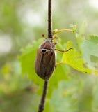 Insecto de la flor del espino de Brown Fotos de archivo