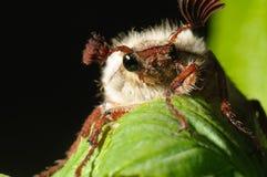 Insecto de la flor del espino (Melolontha vulgaris) imagen de archivo libre de regalías