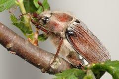 Insecto de la flor del espino (Melolontha vulgaris) imagen de archivo