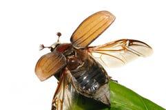 Insecto de la flor del espino (Melolontha vulgaris) fotos de archivo libres de regalías
