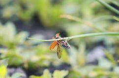 Insecto de la flor del espino que se arrastra en una cuchilla de la hierba con sus alas extendidas Imagen de archivo libre de regalías