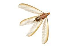Insecto de la hormiga blanca de la termita Foto de archivo