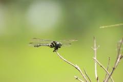 Insecto de la libélula, mosca de la libélula en la rama Foto de archivo libre de regalías