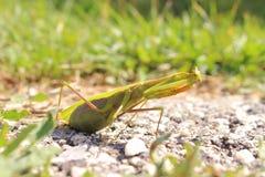 Insecto de la mantis religiosa en naturaleza Foto de archivo libre de regalías