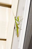 Insecto de la mantis religiosa en naturaleza Predicador Religiosa Imágenes de archivo libres de regalías
