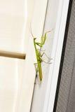 Insecto de la mantis religiosa en naturaleza Predicador Religiosa Imagenes de archivo