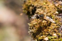 Insecto de la mosca de la libración Foto de archivo libre de regalías