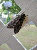 Insecto de la polilla Fotos de archivo libres de regalías