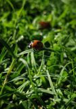 Insecto de la señora con el fondo herboso verde imagen de archivo