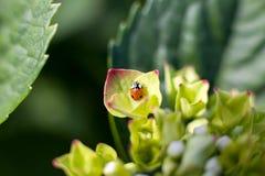 Insecto de la señora en Hortensia foto de archivo libre de regalías